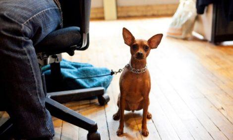 Новости: Собаки на рабочем месте снимают стресс