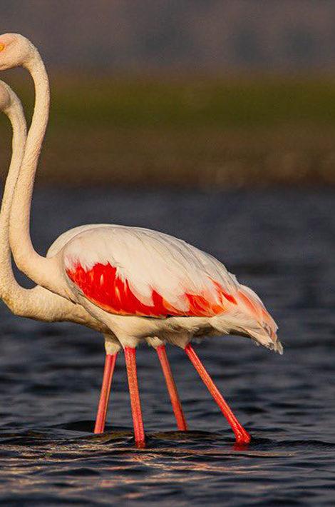 Мумбаи в розовом цвете: рекордное количество перелетных фламинго в Индии
