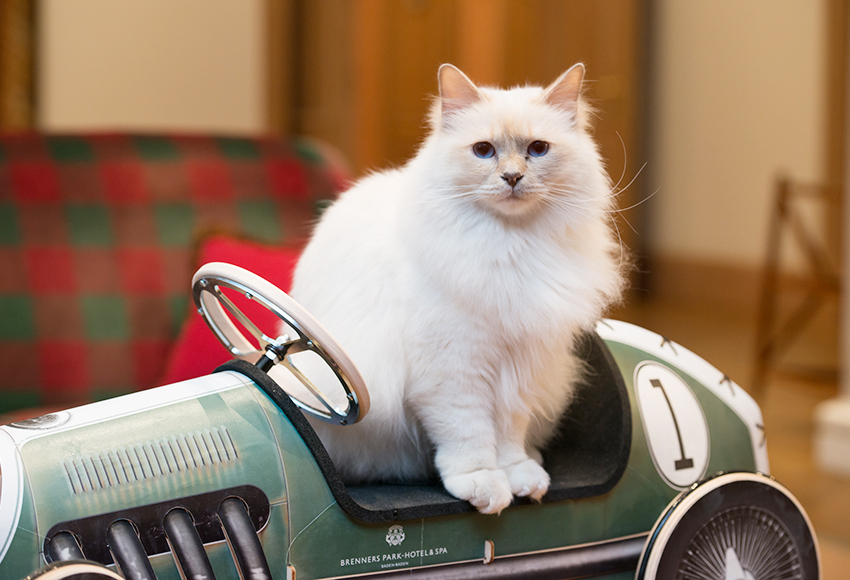 Клеопатра, белая кошка породы бурма