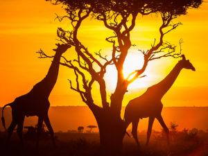 Кения запустила виртуальные сафари