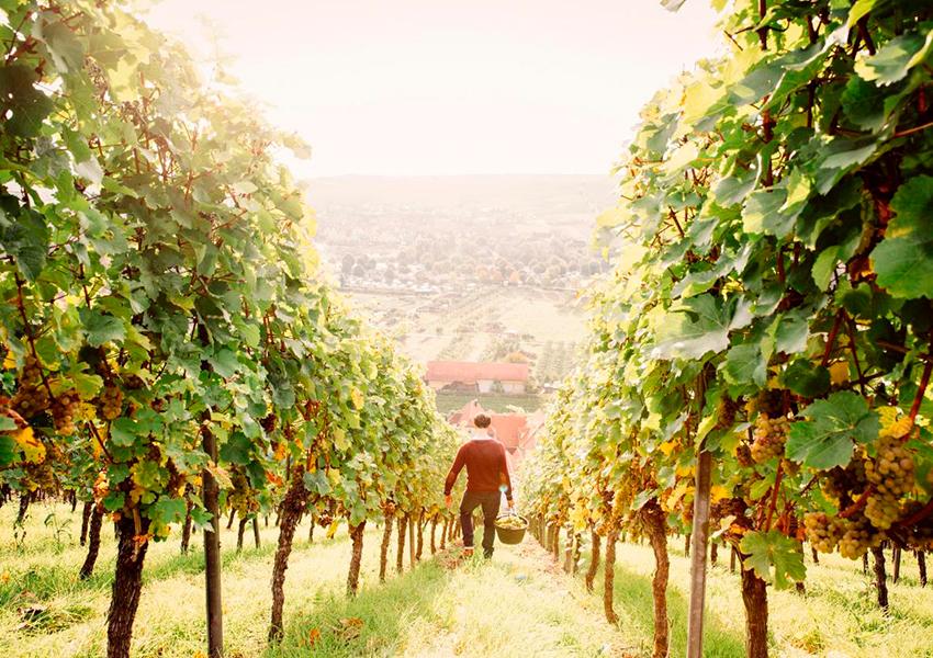 Путешествие по винам Германии: рейнские лозы, многоликий рислинг и сладость холода