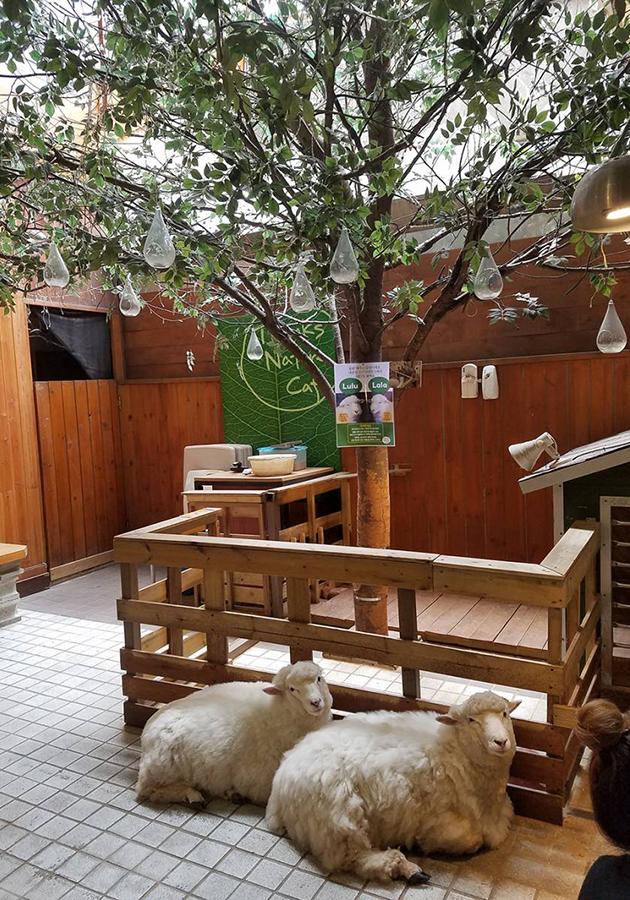 Thanks Nature Cafe: овцы и капучино — кафе-антистресс в Сеуле ждет гостей