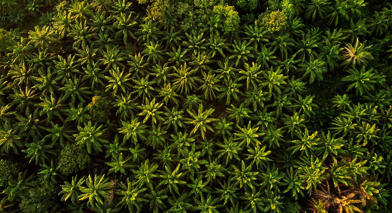 Вся правда о пальмовом масле