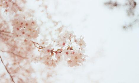 Eco Living: сезон цветения японской сакуры начался рекордно рано