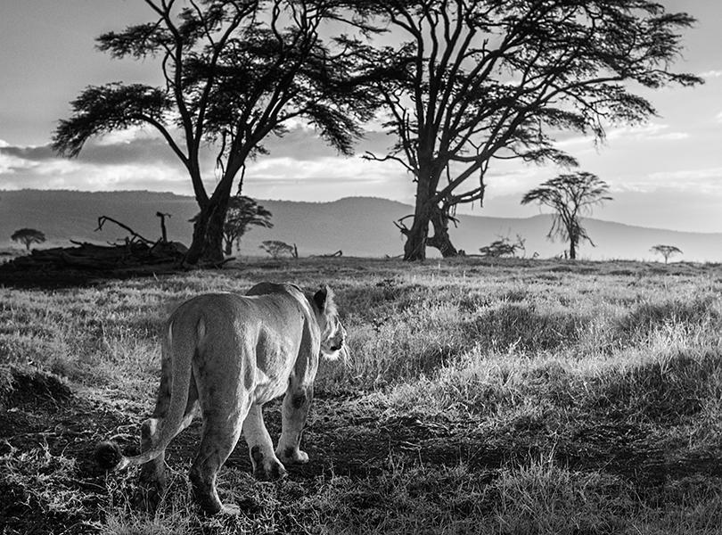 Год льва: уникальная фотосъемка Дэвида Ярроу для фонда Tusk